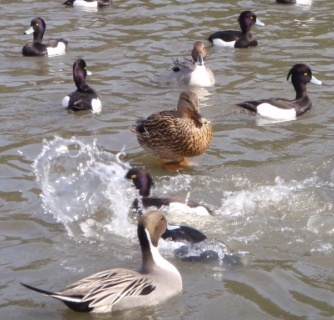 Daijobu Kamo among other ducks
